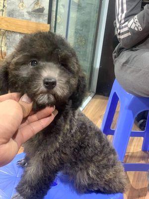 Chó poodle xám khói cái 3 tháng tuổi
