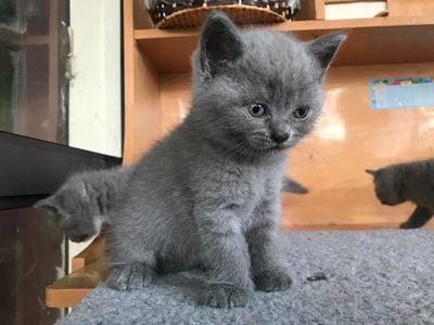 Mèo Anh lông ngắn ( xám xanh 2 cái 1 đực)