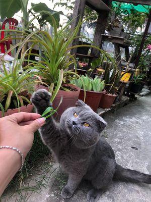 Nhận phối giống Mèo ALN xám xanh