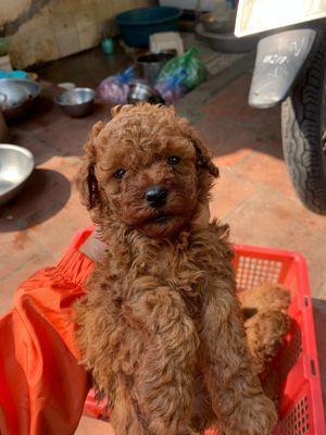 Chó poodle 3 đực 2 cái nâu đỏ gần 2 tháng tuổi