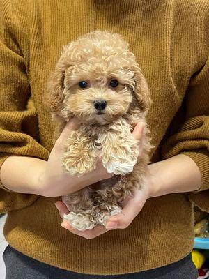 Giống chó poodle đực/cái đủ màu 2 tháng tuổi