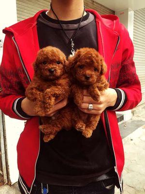 0798572696 - Chó nhau nuôi ss đc bầy poodle nâu đỏ xinh