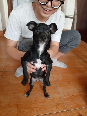 Chó Phốc Hươu 4 tháng tuổi