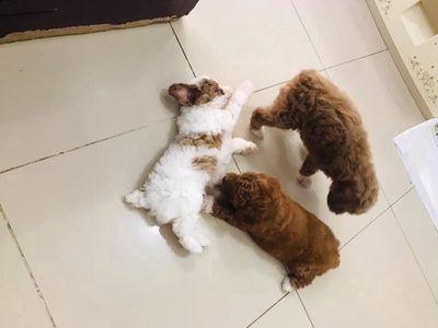 bán 3 bé tiny poodle Cún nhà đẻ