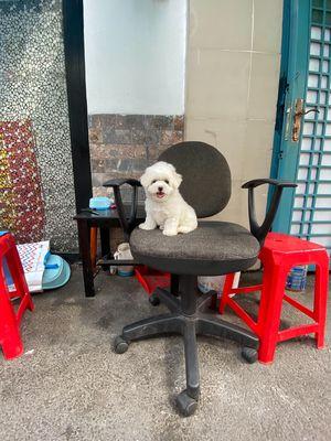 Chó poodle trắng 3 tháng tuổi