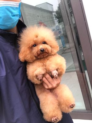 Tiny poodle giống chuẩn