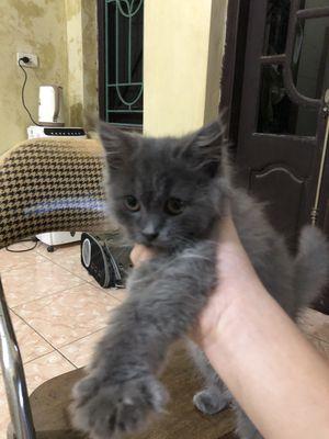 Mèo Anh lông dài 4 tháng tuổi. Giống cái, xám xanh