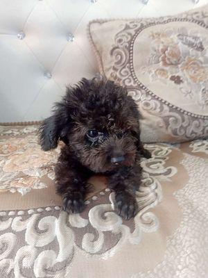 Cần bán bé chó Poodle đực đen 3tháng tini x teacup