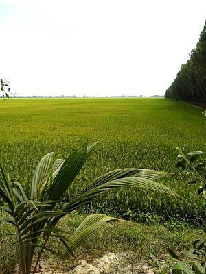 Đất ruộng trồng lúa