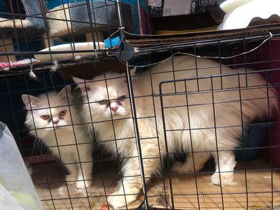 Mèo Anh Long dài fom to ( 2 tháng ) thuần chủng
