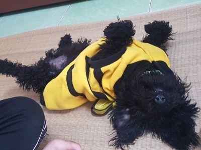 Muốn tìm chủ yêu thương bé Poodle, 8 tháng tuổi