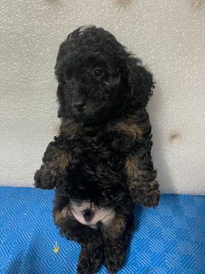 Em poodle đực xám đen 2,5 tháng tuổi