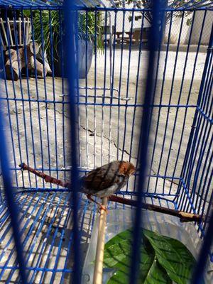 Chim Sâu Đầu Đỏ Mái RO