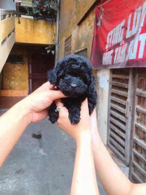 Poodle đen siêu dễ thương 2 bé đực ạ