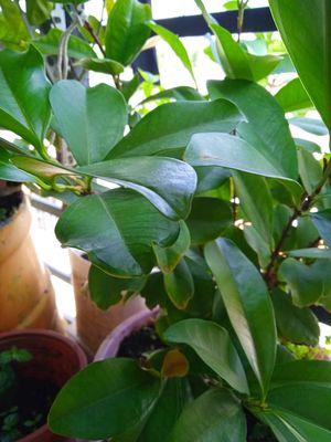 Cây cherry Brazil