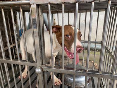 Chó Pitbull Cái 6 tháng