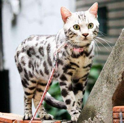 Mèo bengal hổ trắng đực nhập Nga giấy tờ đầy đủ