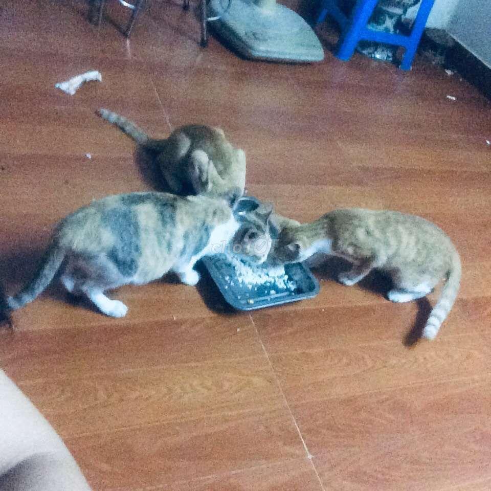2 chú mèo con màu vàng_(6_7 tháng). Bạn nào có nhé