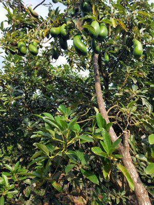 Bán 2.5 sào đất trồng bơ xã Quang Trung