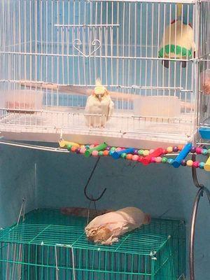 Vẹt cockatiel cho ăn từ nhỏ , thuần quấn chủ
