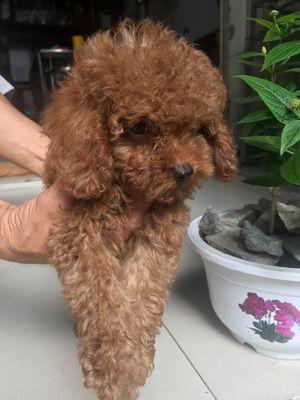 Chó poodle đực nâu đỏ 2 tháng tuổi