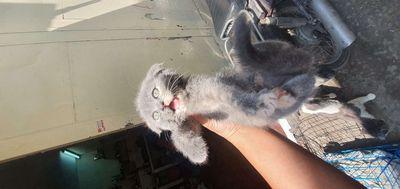 Mèo aln 2 tháng tuổi,  4 cái  , 1 đực