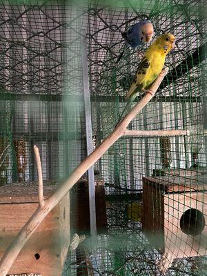 Bán vẹt yến phụng sinh sản 150k 1 con