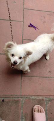 Cần tìm mua 1 em chó phốc sóc trắng cái 5-7kg