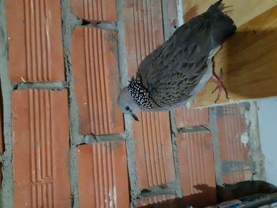 Chim bổi bẫy lụp