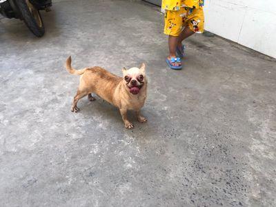 Chó Chihuahua tiny thuần chủng ( Cái)